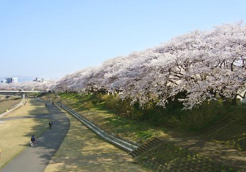 아즈인 후쿠이의 후방을 흐르는 아스와가와 제방 변에는 '벚꽃 명소 100선'에도 선정된 전장 2.2km에 이르는 훌륭한 벚나무 가로수가 있습니다. 밤에는 조명이 밝혀져 낮뿐만 아니라 밤의 벚꽃도 즐길 수 있습니다. 시즌에는 전용 숙박 플랜도 있습니다. 꼭 한번 이용해 보시기 바랍니다.