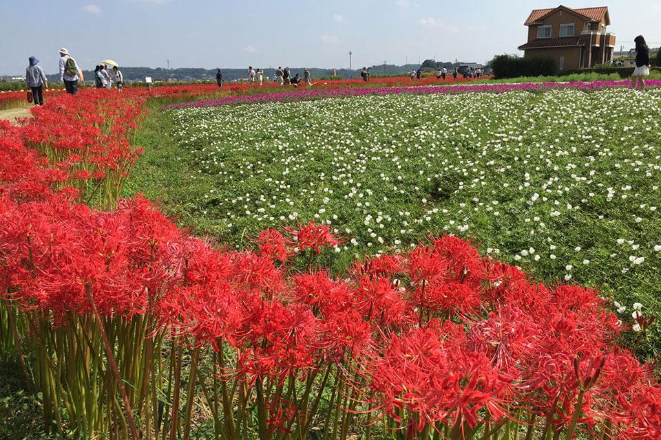 愛知県の知多半島を流れる矢勝川(やかちがわ)は、彼岸花の名所として広く知られています。矢勝川堤沿いの2キロの散歩道では、例年、彼岸花(200万本)の見頃の時期(9月下旬~10月上旬)に「ごんの秋まつり」が開催されます。実は「ごんの秋まつり」の名前にも由来があります。 新美南吉の童話「ごんぎつね」を知っていますか? 童話の中で兵十がうなぎを獲っている川が、半田市矢勝川です。 矢勝川の彼岸花は童話「ごんぎつね」にゆかりがあり、童話の中にも彼岸花が登場し、「彼岸花が赤い布のように咲いている」と表現されています。